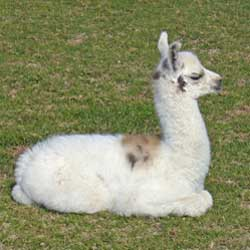 Photo of baby llama