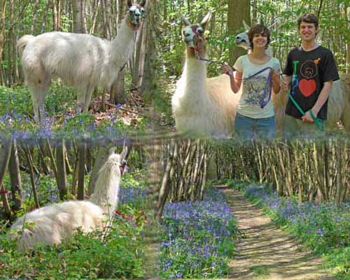 Photomontage of llama walk through bluebell woodland