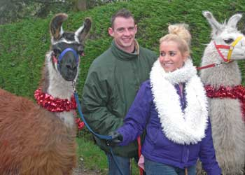 Christmas llama walk at Bluecaps Llamas