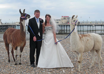 Wedding llamas on the beach, Worthing