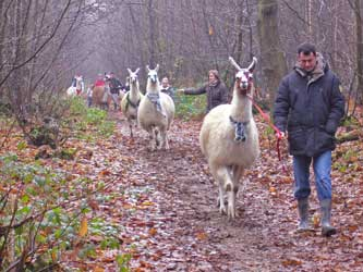Photo of Christmas llama trek at Bluecaps Llamas